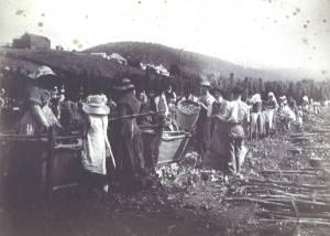 Hop picking in New Norfolk 1888